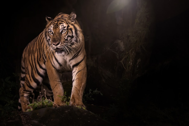 Porträt des bengal-tigers im dunklen wald