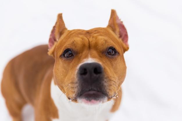 Porträt des braunen rassehundes auf dem schnee. staffordshire-terrier