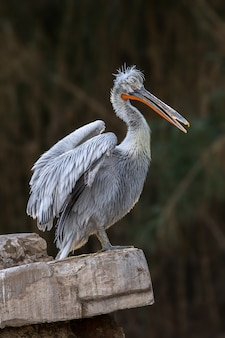 Porträt des dalmatinischen pelikans (pelecanus crispus)