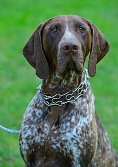 Porträt des deutschen kurzhaarzeigers am hund