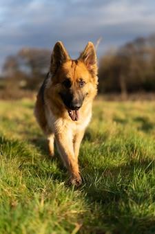 Porträt des deutschen schäferhundes in einem park bei sonnenuntergang