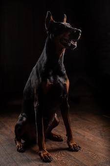 Porträt des dobermanns auf dunkelheit