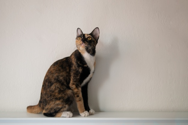 Porträt des dreifarbigen katzenkalikos oder des tortie