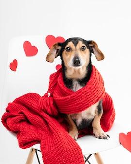 Porträt des entzückenden kleinen hundes bedeckt mit einem schal