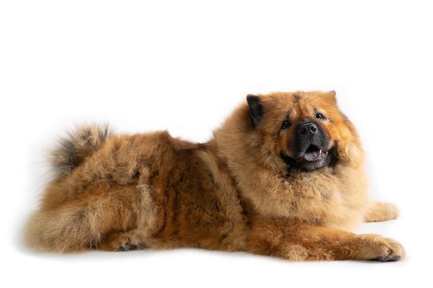 Porträt des faulen chow-chow-hundes, der auf dem boden lokalisiert auf weiß liegt