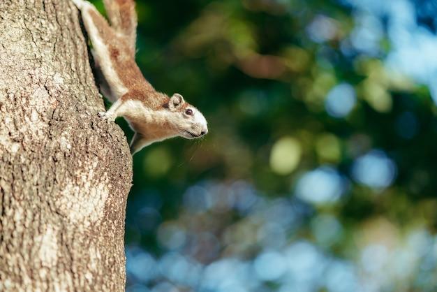 Porträt des flaumigen braunen eichhörnchens kletternd und alarmierend für gefahr auf dem baumstamm im park. wildlife-konzepte. fotografie des wilden tieres spielend mit fotografen und der aufstellung. natürliches licht