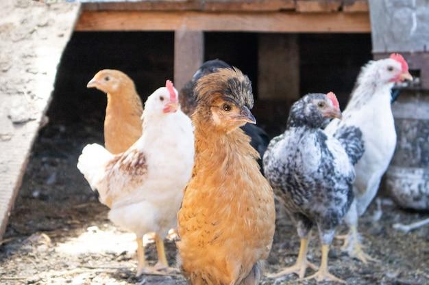 Porträt des getufteten huhns auf bauernhof im hühnerstall.