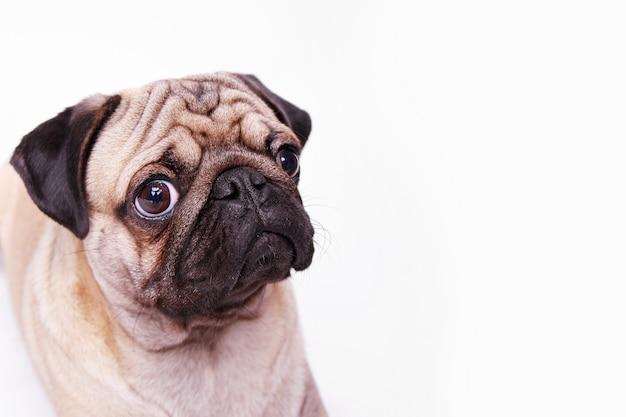 Porträt des glücklichen hundes der mopsrasse.
