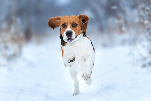 Porträt des glücklichen lächelnden amerikanischen beagle-hundes, der an der kamera auf feld im winter läuft