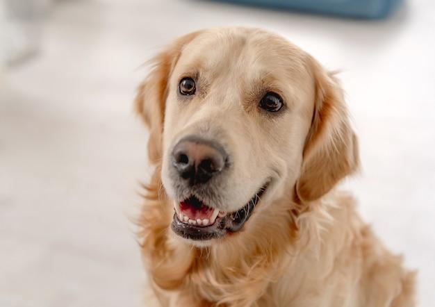 Porträt des golden retriever-hundes zu hause draufsicht