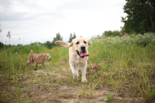 Porträt des goldenen labradors, der vorwärts läuft
