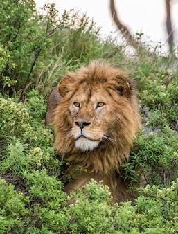 Porträt des großen männlichen löwen im gras