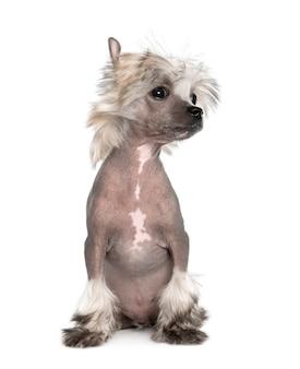 Porträt des haarlosen chinesischen haubenhundes, 3 monate alt. hundeporträt isoliert