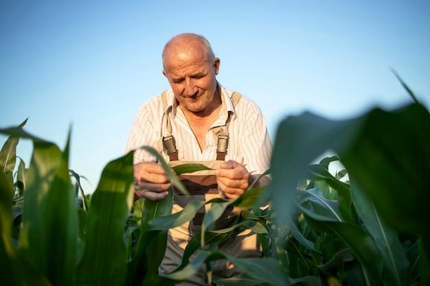 Porträt des hochrangigen fleißigen landwirts agronom im maisfeld, das ernten vor der ernte prüft