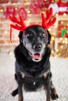 Porträt des hundes mit rentiergeweih