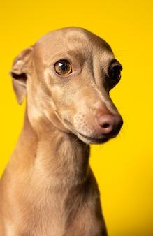 Porträt des italienischen grauhundhundes im studio