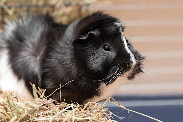 Porträt des kleinen schwarzweiss-meerschweinchens