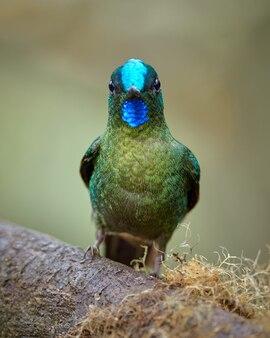 Porträt des kolibris, der gerade vorwärts schaut