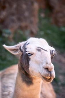 Porträt des kopfes eines erwachsenen lamas