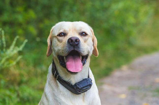 Porträt des labradors im wald nahe straße