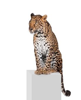 Porträt des leoparden, panthera pardus, stehend