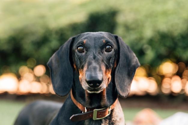 Porträt des loyalen hundes kamera betrachtend