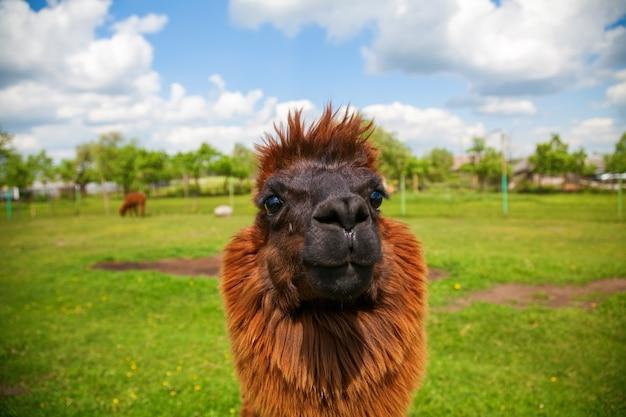 Porträt des lustigen niedlichen braunen alpakas auf einem feld