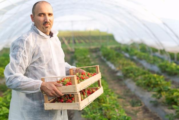 Porträt des männlichen bauern, der frisch geerntete erdbeerfrucht im feld hält