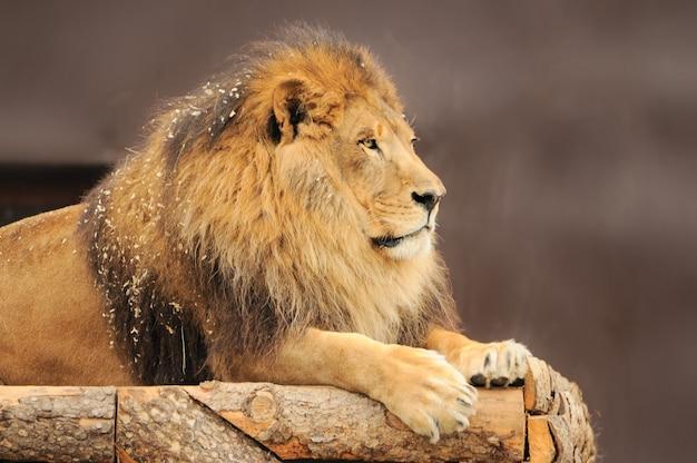 Porträt des männlichen löwen, der vorwärts schaut