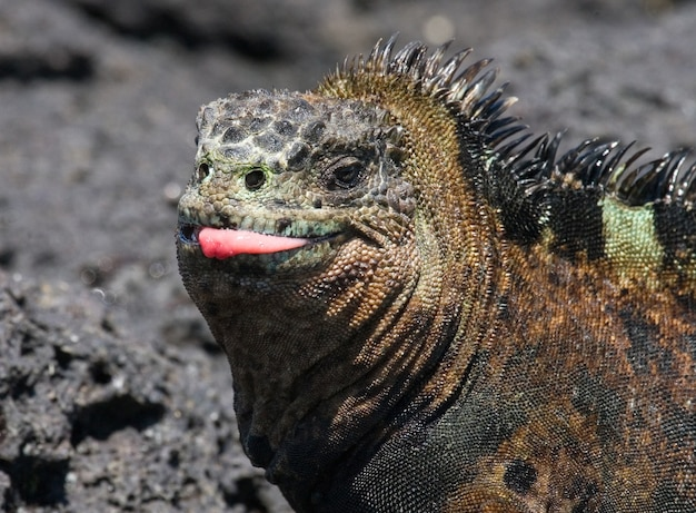 Porträt des meeresleguans in der natur Premium Fotos