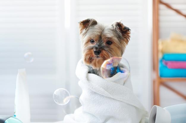 Porträt des natürlichen lichtes der nahaufnahme eines yorkshire-terriers nach bad