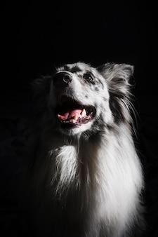 Porträt des netten border-colliehundes