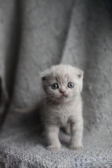 Porträt des netten kleinen scottish-faltenkätzchens. hängeohrige katze.