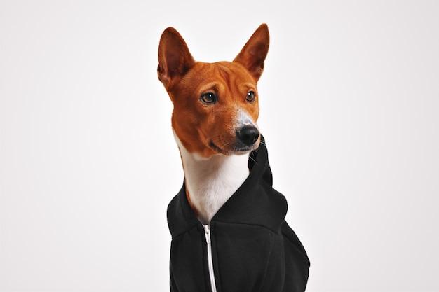Porträt des neugierig aussehenden braunen und weißen basenji hundes im schwarzen kapuzenpullover mit reißverschluss