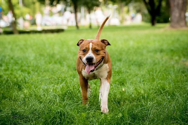 Porträt des niedlichen amerikanischen staffordshire terriers am park