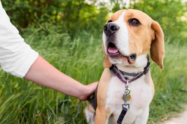 Porträt des niedlichen beagle, der spaziergang im park genießt