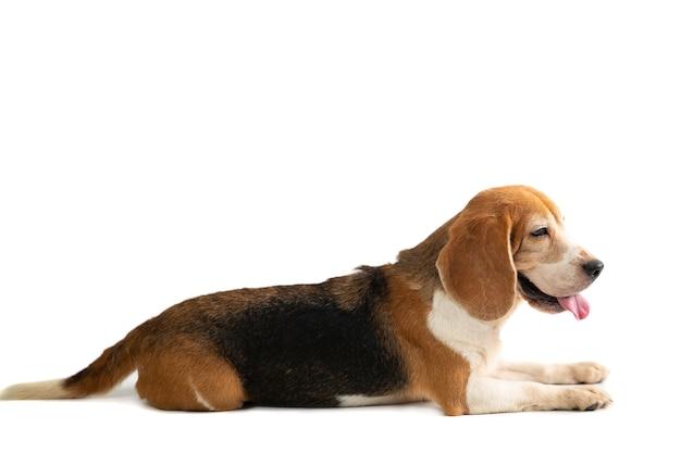 Porträt des niedlichen beagles, der auf dem boden sitzt, wobei zunge herausragt