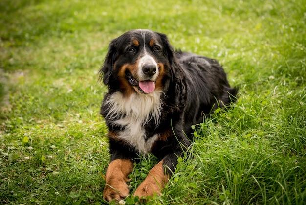 Porträt des niedlichen berner sennenhund-hundes im park