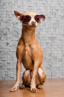 Porträt des niedlichen chihuahua-hundes mit sonnenbrille