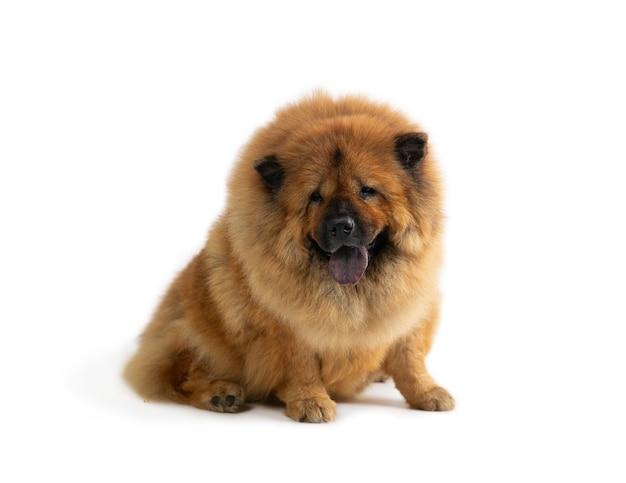 Porträt des niedlichen chow-chow-hundes, der auf dem boden mit herausstehender zunge sitzt