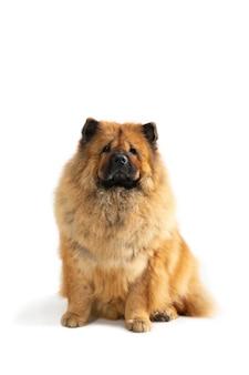 Porträt des niedlichen chow-chow-hundes, der auf dem boden sitzt