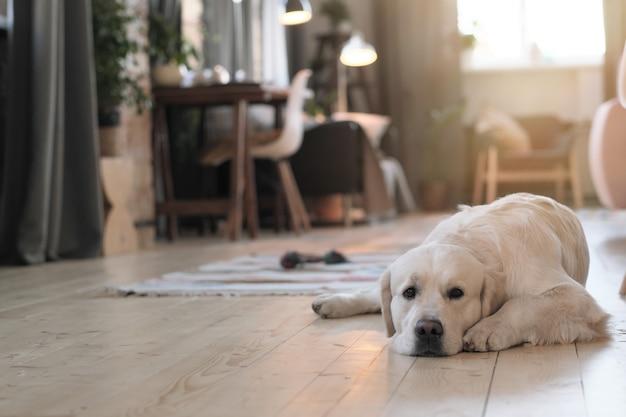 Porträt des niedlichen hundes, der auf boden im raum liegt und sich ausruht