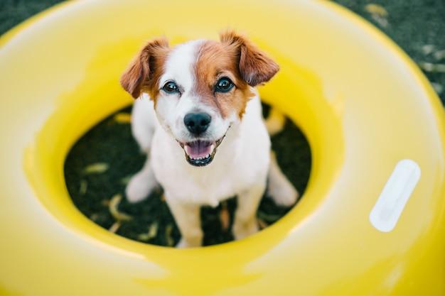 Porträt des niedlichen jack russell-hundes draußen sitzend auf gelben aufblasbaren donuts, sommerzeit
