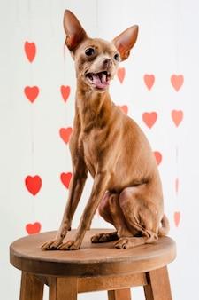 Porträt des niedlichen kleinen chihuahua-hundes, der auf stuhl sitzt
