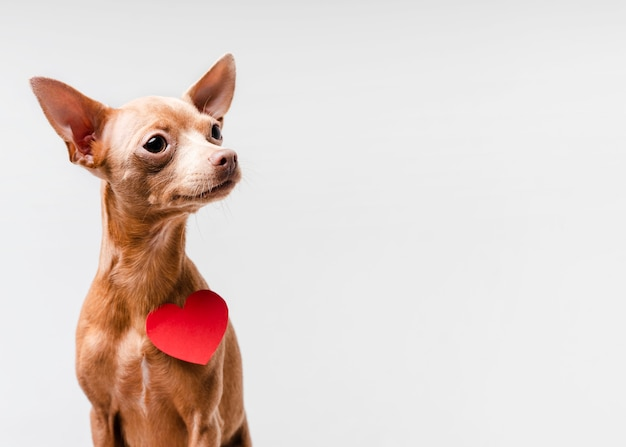 Porträt des niedlichen kleinen chihuahua-hundes
