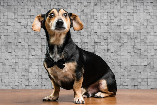 Porträt des niedlichen kleinen hundes mit fliege