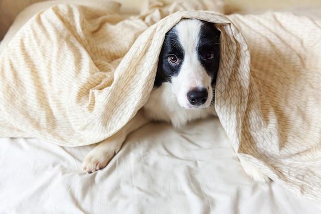 Porträt des niedlichen lächelnden welpenhunde-grenzcollies lag auf kissendecke im bett. störe mich nicht, lass mich schlafen. kleiner hund zu hause liegend und schlafend. haustierpflege und lustige haustiere tierlebenskonzept.