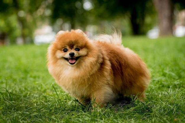 Porträt des niedlichen pommerschen hundes am park