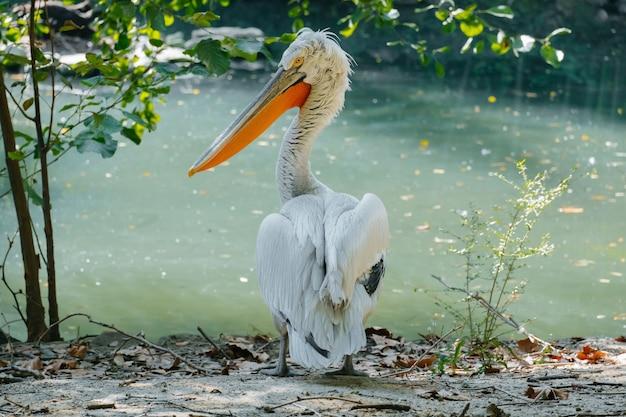 Porträt des pelikanvogels auf einem teich im sonnigen sommertag