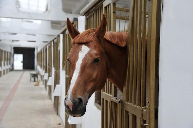Porträt des pferdes im stallkasten.